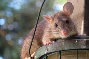 Rat Infestation, Pest Control in Regent's Park, NW1. Call Now 020 8166 9746