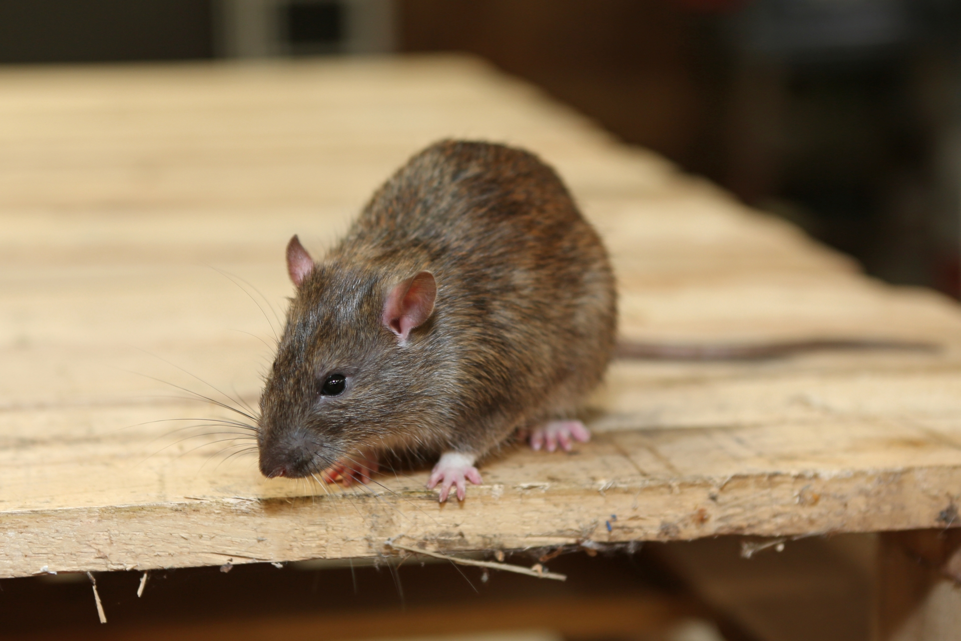 Rat extermination, Pest Control in Regent's Park, NW1. Call Now 020 8166 9746